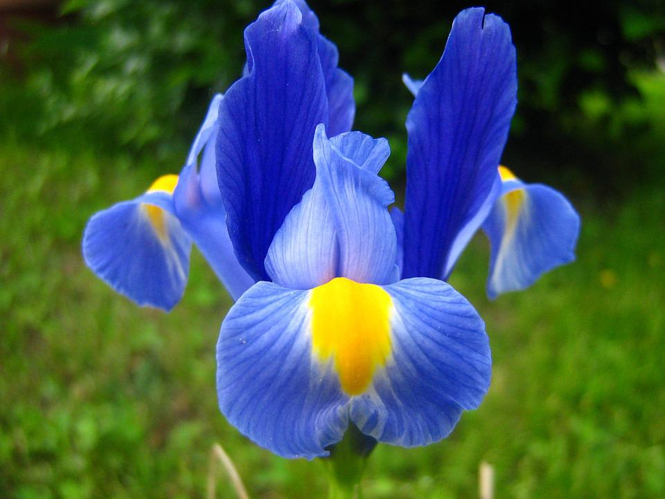 iris and lily ebook free download